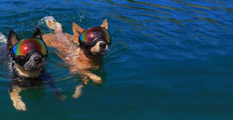 dogs swimming goggles